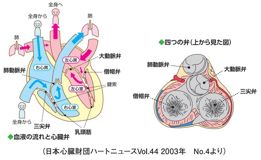 心臓の血液の流れと心臓弁の図解
